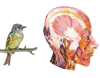 Bird and muscles of human head- watercolor study-