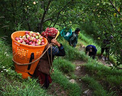 Apple Picking - Life in Shimla