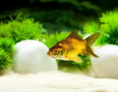 Gold Fish photos