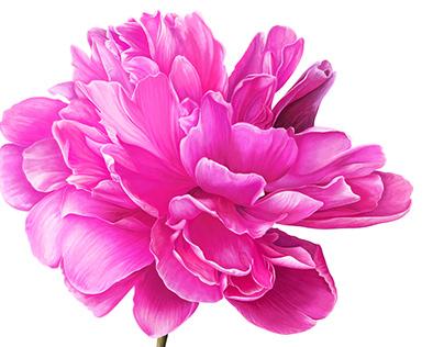 Bright Pink Peony Flower