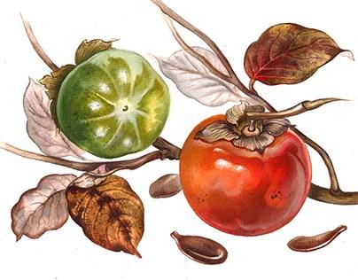 "Botanical Watercolors ""Fruits"""