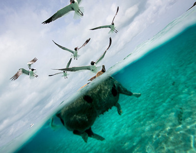 Oink, The Swimming pigs of Bahamas