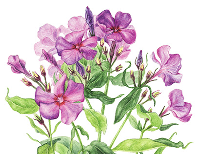 Watercolor phlox