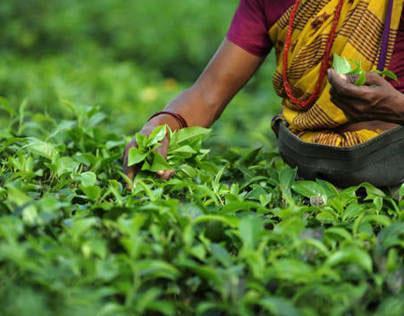 Tea Workers Union