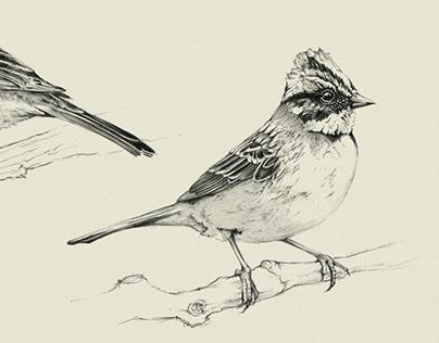 Illustrations faune - oiseaux