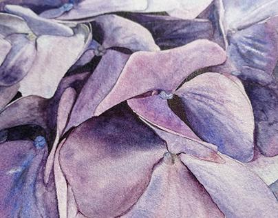 Hydrangea | Schmincke