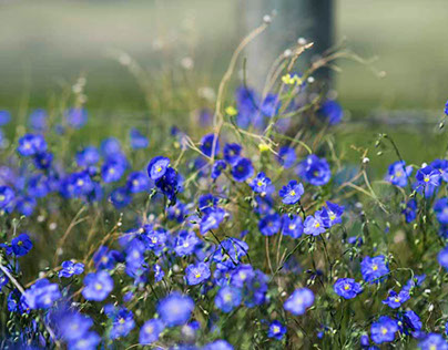Beautiful Blue Flax