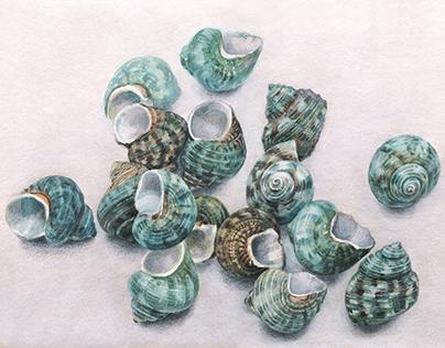 Green Turbo seashells
