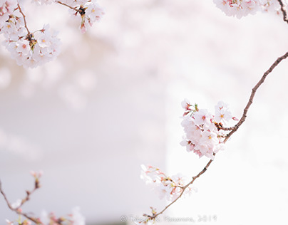 Natural: Cherry in full bloom