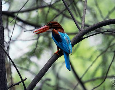 Kingfisher ( Kaziranga Sanctuary ) | Nikon D750| 600mm