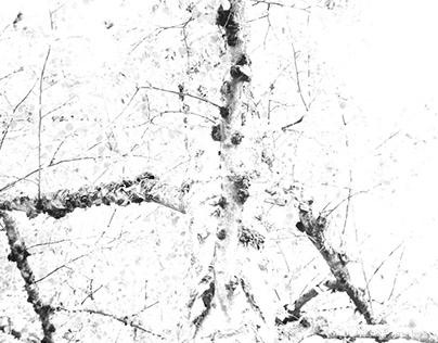 Birches in Light