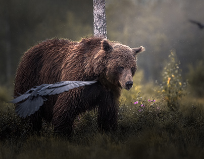 Bears of Finland