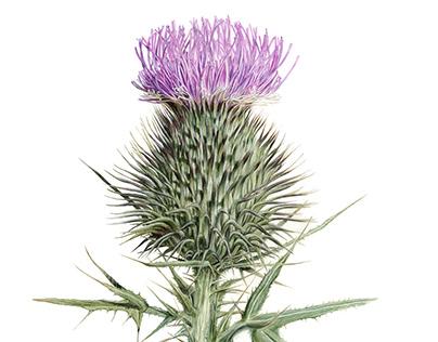 Realistic thistle flower illustration