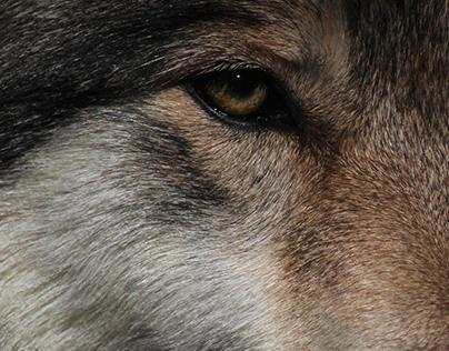 The Lakota Wolf Preservation II