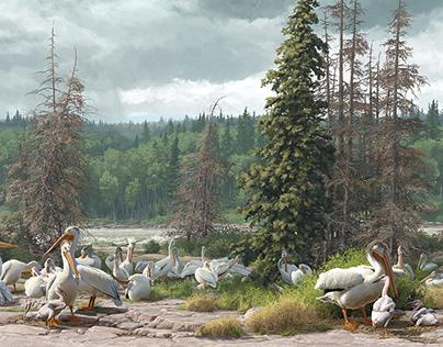 Royal Alberta Museum | American White Pelicans