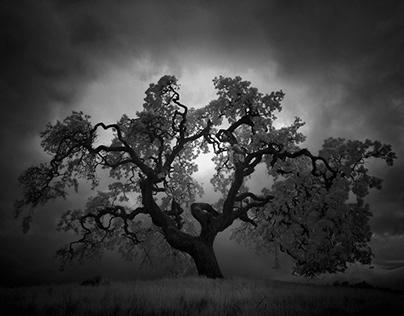 Study of an Oak Tree