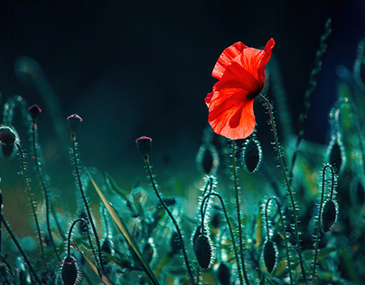One blooming poppy