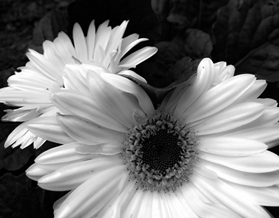 Flowers with no Color