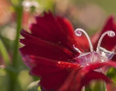 Dianthus Flower Macro HD Wallpaper 1920x1080