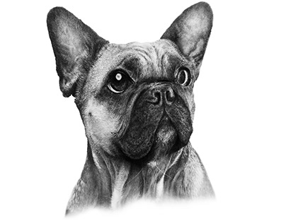 French Bulldog - pencil and charcoal Illustration