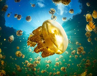 The jellyfish from Lenmakana Lake!