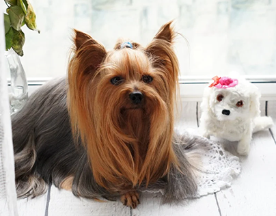 Brittany Golden Ballwin Outlines Pet Grooming Routines