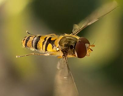 Hoverfly (Episyrphus balteatus )