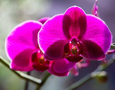 An Orchid in my studio garden