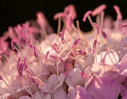 Pink Stamen