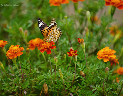 Butterfly and marigold...