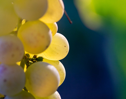 Chasselas grapes in Switzerland, 2020