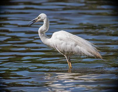 Australian Eastern Egret in breeding plumage
