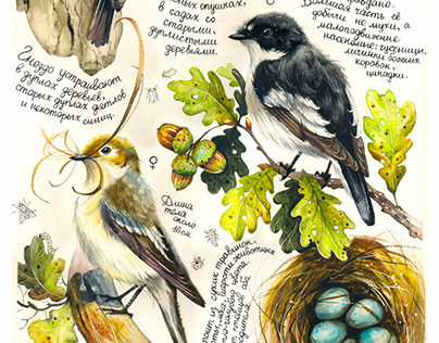 Botanical watercolor - European pied flycatcher