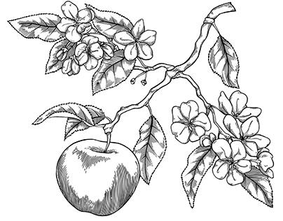 Illustration de pomme style gravure