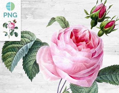 Pink Cabbage Rose - Vintage Illustration