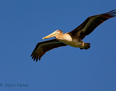 Mostly Pelicans