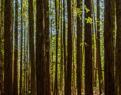 Redwood's