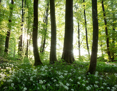 Wild garlic - Spring in Germany
