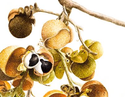 Botanical Illustrations, Watercolor