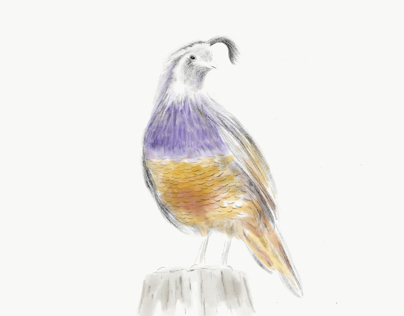 Quail Sketch