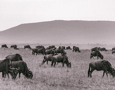 Maasai Mara National Reserve MagicalKenya H.I.S. Kenya