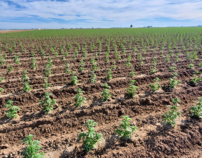 Hemp farm California