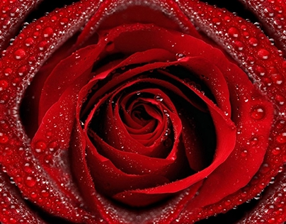 Dew On Red Rose HD Wallpaper 1920x1080