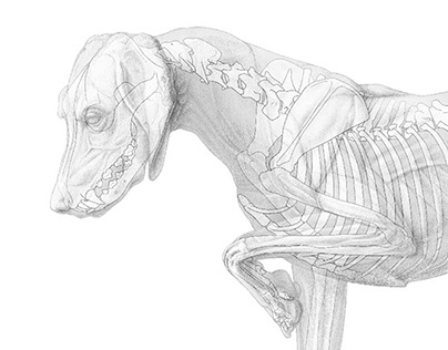 Musculoskeletal system of the dog