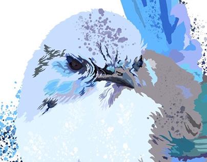 A splash of blue: the Splendid Fairywren