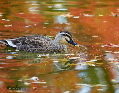 Waterfowl in October