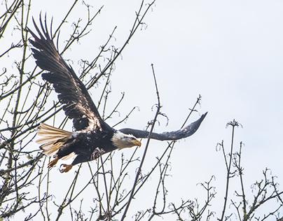 Skagit River Eagle Festival :: Rockport, WA