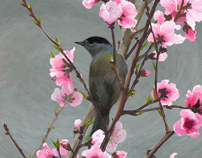 Blackcap bird male on peach tree