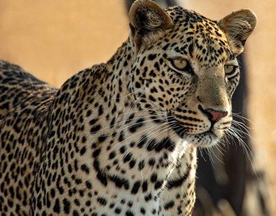 African Wildlife in Kruger National Park