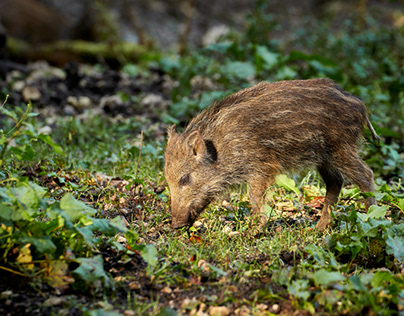 young boar in the woods, Germany